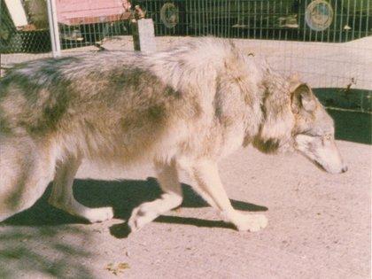 La cría de lobos híbridos también se convierte en un reto especial debido a la compleja estructura social de los lobos ancestros