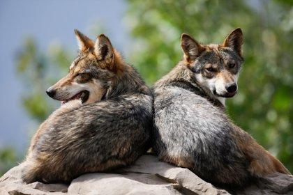 Al igual que los lobos, los híbridos de lobo que viven en libertad son especies protegidas. La normativa europea que regula la tenencia de animales no se aplica explícitamente a los híbridos domesticados (REUTERS/Daniel Becerril)