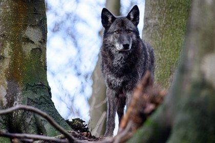 ¿Perro o lobo? En los híbridos es muy difícil distiguir una especie de la otra. Foto: Swen Pförtner/dpa