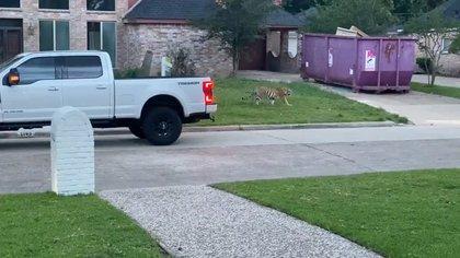 Este es el segundo incidente con un tigre en un vecindario de Houston en dos años