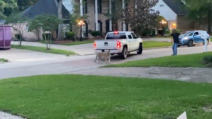 Tigre deambulando por las calles de Houston conduce a una tensa confrontación
